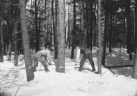 Men logging with cross cut saw in woods, Newfane, Vt.