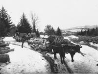 Men logging with Oxen Team in the Woods, Newfane, Vt.