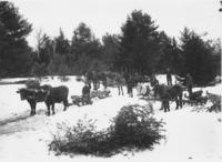 Men logging with Oxen and Horse Teams, Newfane, Vt.