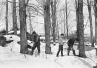 Older man and two boys tapping maple trees for sap