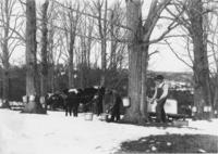 Collecting sap with buckets and oxen