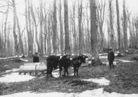 Three unidentified people gathering sap with buckets and oxen