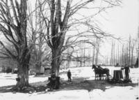Three unidentified people gathering sap with buckets and horses