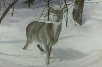 Deer on Mount Mansfield