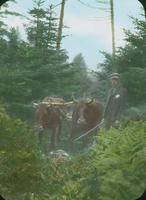 Oxen hauling supplies for the building of the Battell Trail