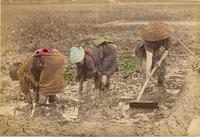 Farmers planting their crop