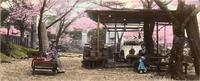 Two women and a child siting below Sakura Trees