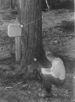 Worker collecting data in sugar bush