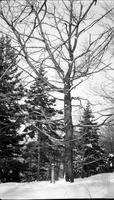Close up of tree with tipping bucket, in snow