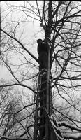 Worker on ladder in the sugar bush