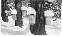 Collection buckets in the sugar bush