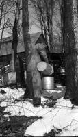 Worker collecting maple sap