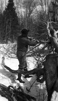 Worker chopping felled tree in the sugar bush