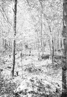 Thinning plots in the sugar bush