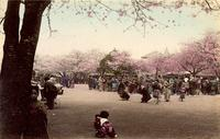 Cherry blossom festival in full swing