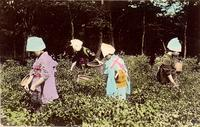 Four women picking plants