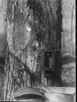 Tapping a sugar maple