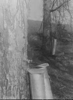 Close-up of sugar maples with collection buckets attached