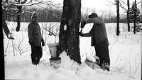 Workers tapping trees in the sugar bush