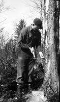 Herb Beam tapping a sugar maple