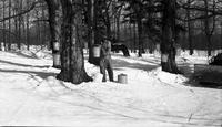 Working collection buckets in the sugar bush