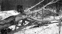 Worker removing felled tree in the sugar bush