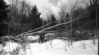 Worker clearing downed tree in sugar bush